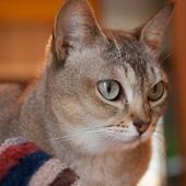 male Singapura cat