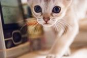 curious Singapura kitten