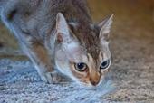 classic singapura cat